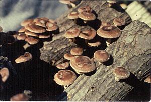 Грибы шиитаке, черный древесный гриб, трутовик лаковый